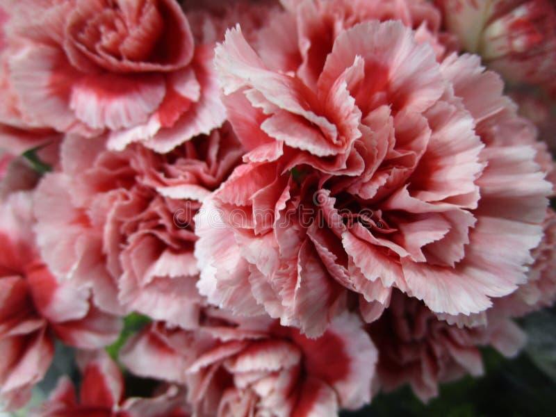 Luz doce - ramalhete do rosa e o branco do cravo da flor na mola fotos de stock royalty free
