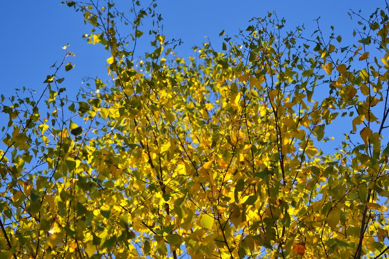 Luz e sombra bonitas nas folhas amarelas e verdes do vidoeiro Dia ensolarado do outono Luz e sombra Outono morno foto de stock