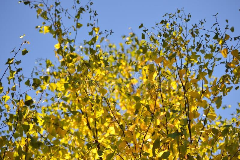 Luz e sombra bonitas nas folhas amarelas e verdes do vidoeiro Dia ensolarado do outono Luz e sombra Outono morno fotografia de stock