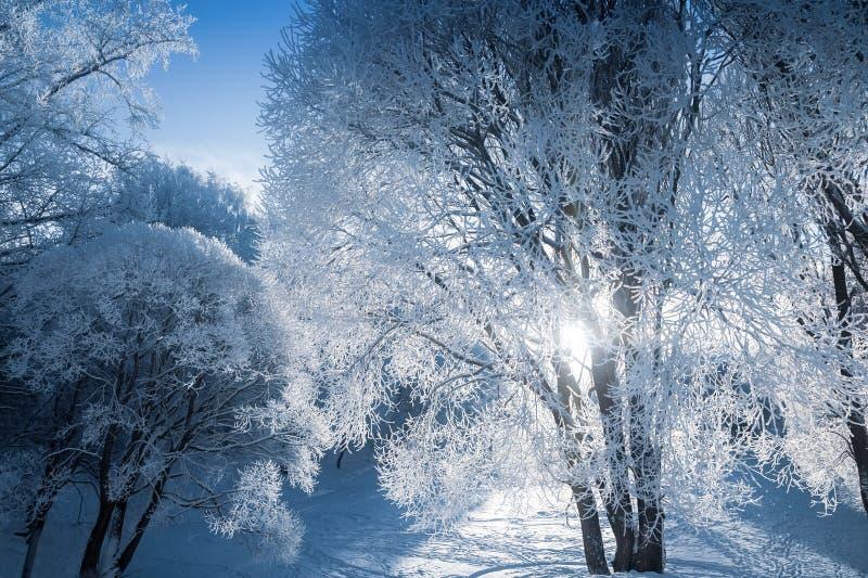 Luz fabulosa a través de las ramas de árbol nevadas foto de archivo