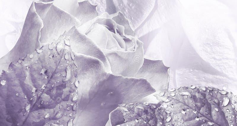 Luz floral da aquarela fundo roxo Rosa floresce o close-up fotos de stock royalty free