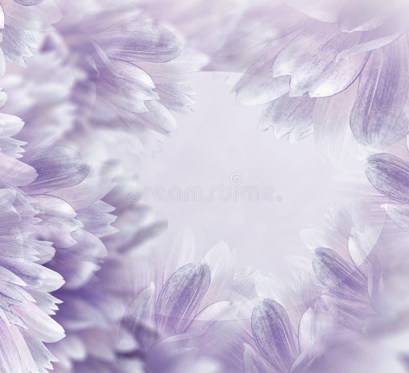 Luz floral - fundo bonito roxo Flores e p?talas de uma d?lia branco-vermelha Close-up Composi??o da flor cart?o f imagem de stock