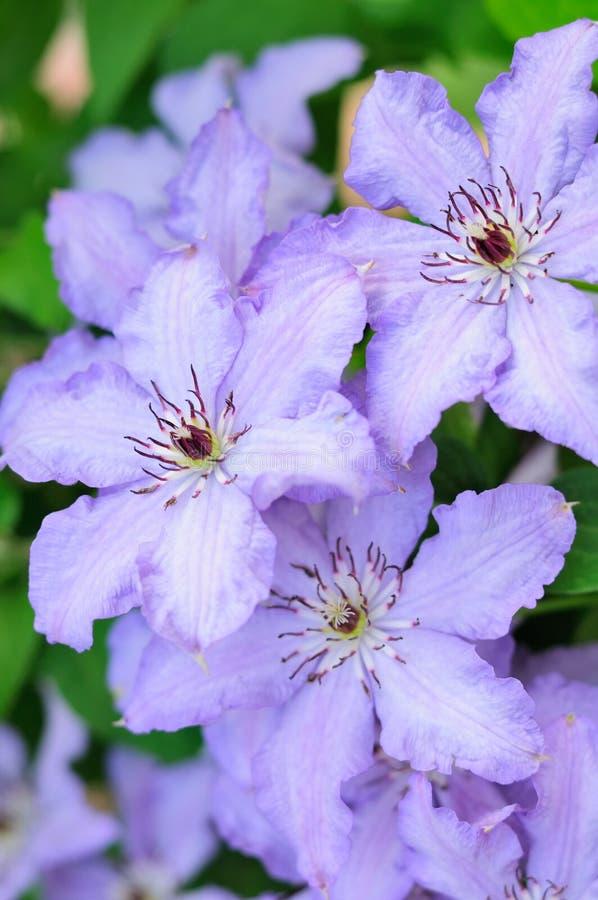 Luz - flores do Clematis roxo fotografia de stock royalty free