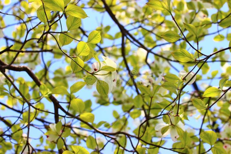 Luz - folhas do verde fotografia de stock