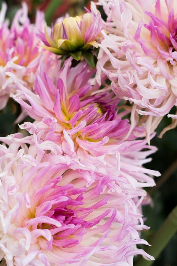 Luz grande - dálias cor-de-rosa fotografia de stock