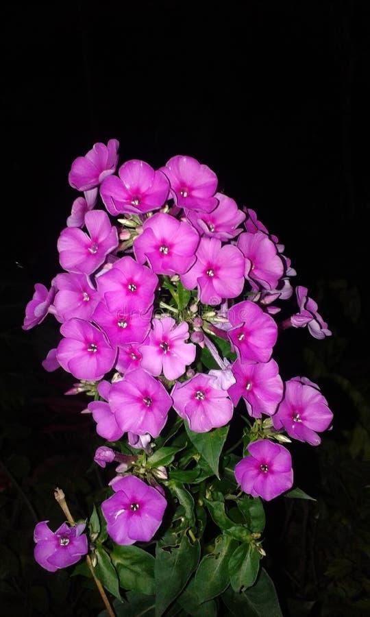 Luz - grupo roxo da flor foto de stock