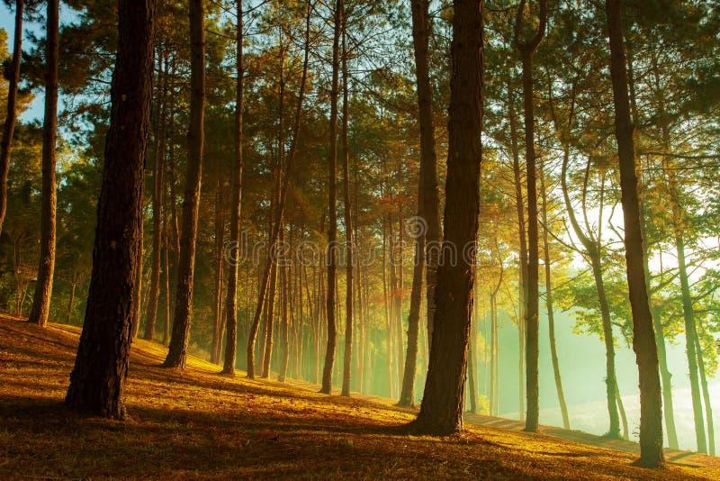 Luz hermosa del sol en el bosque del pino del sorn del maehong del ung de la punzada más fotografía de archivo libre de regalías