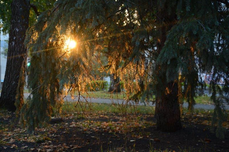 Luz hermosa del sol que pasa a través de las ramas de la picea fotos de archivo