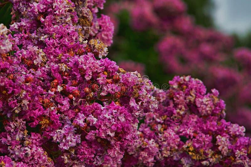 Luz hermosa y perfumada y flores rosadas oscuras fotografía de archivo libre de regalías