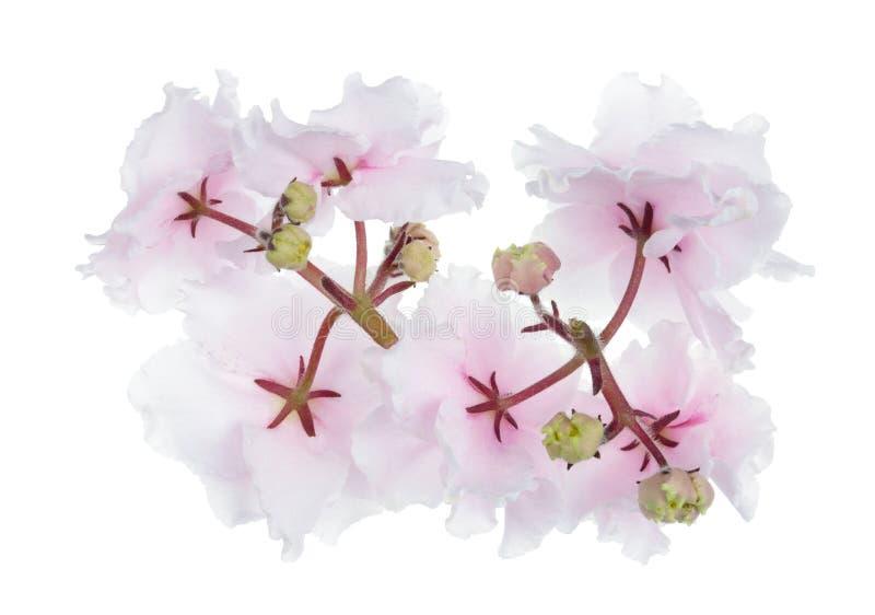 Luz interna de terry da mola da Páscoa - o verso cor-de-rosa das flores das violetas isolou-se imagens de stock royalty free