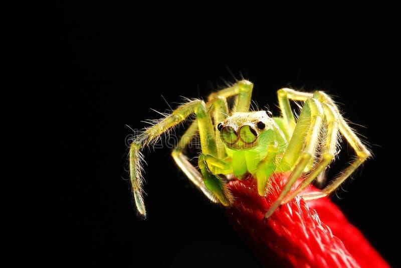 Luz macro da fotografia - corda vermelha de salto transparente verde da aranha com fundo preto imagens de stock