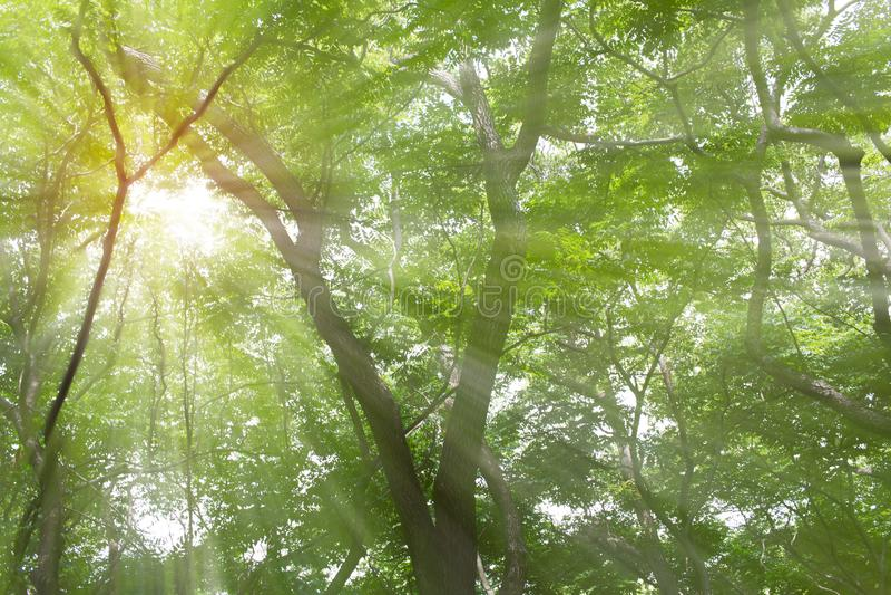 luz na floresta da cânfora fotos de stock royalty free