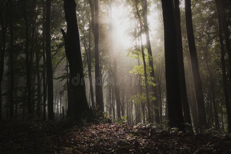 Luz na floresta misteriosa com névoa fotos de stock