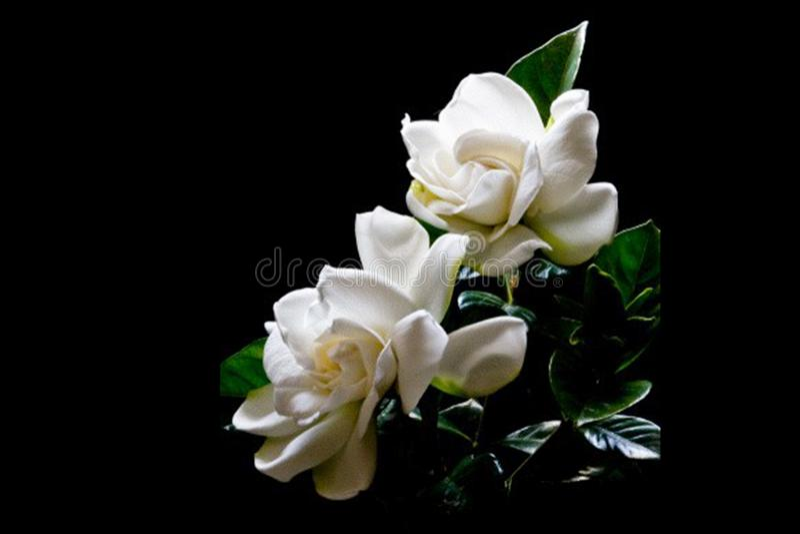 Luz natural en gardenias fotografía de archivo libre de regalías