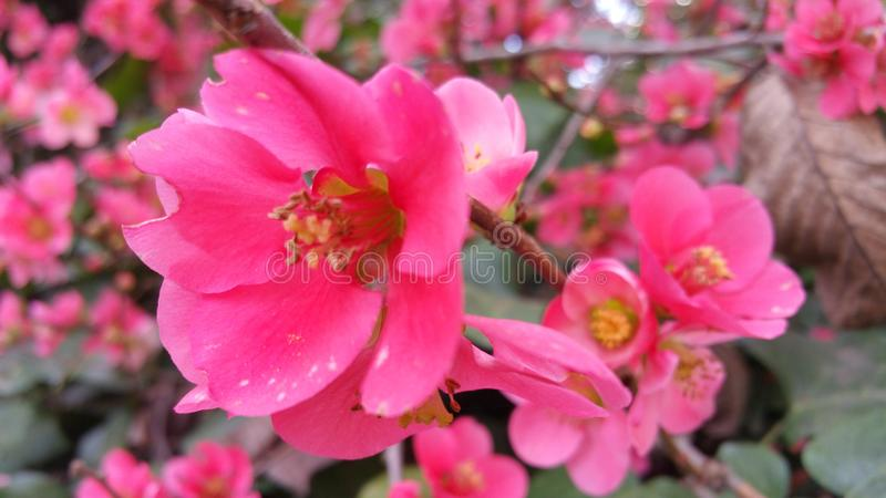 Luz natural nas flores cor-de-rosa escuras imagem de stock
