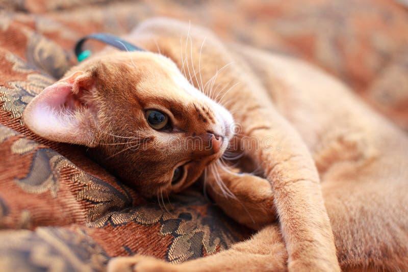 Luz nova - gatinho marrom do gato foto de stock royalty free