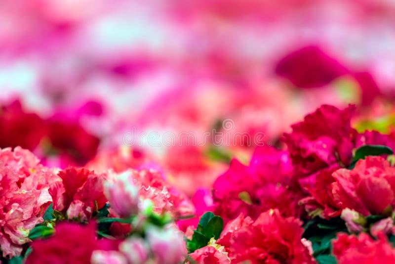 Luz obscura da flor cor-de-rosa bonita no jardim, foco seletivo do rododendro com foco macio imagem de stock royalty free