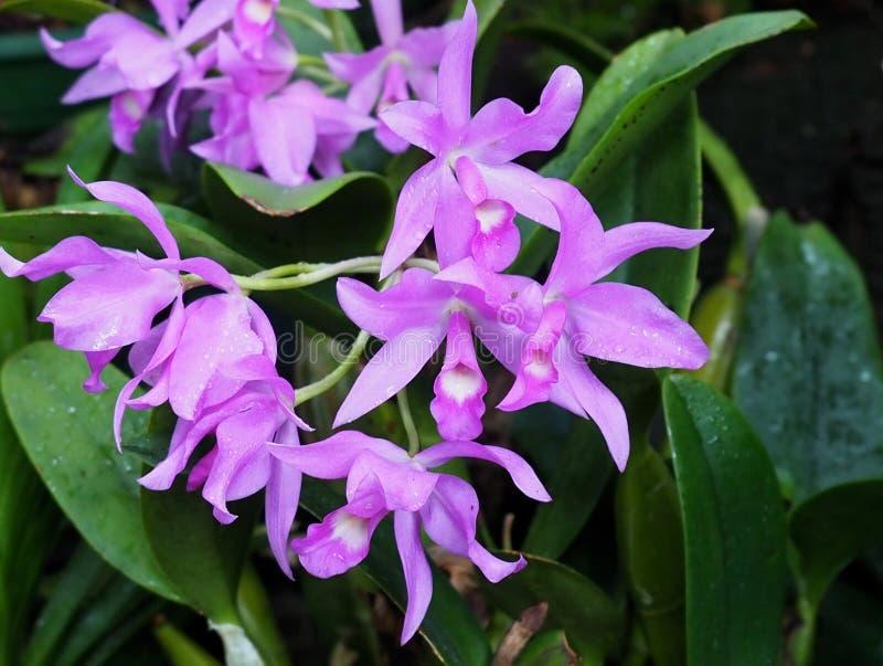 Luz - orquídea roxa na flor fotos de stock