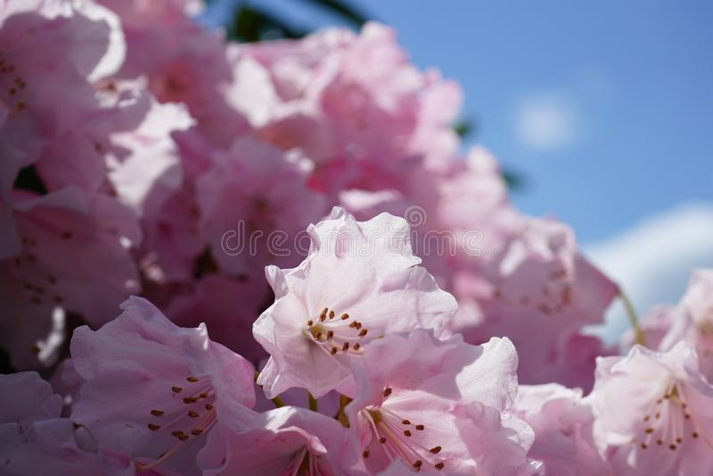 Luz - rododendro colorido rosa no close-up com bokeh bonito imagens de stock