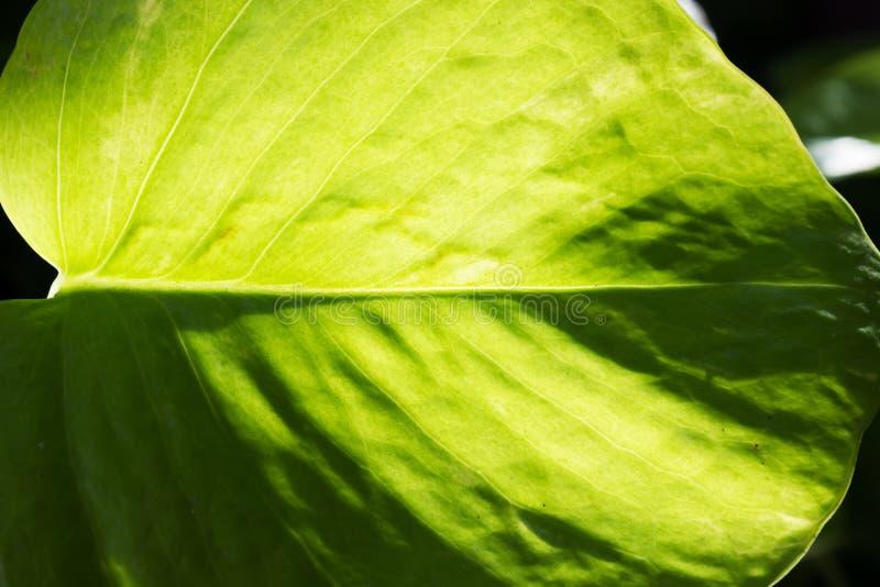 Luz solar através da folha Uso como o fundo fotos de stock