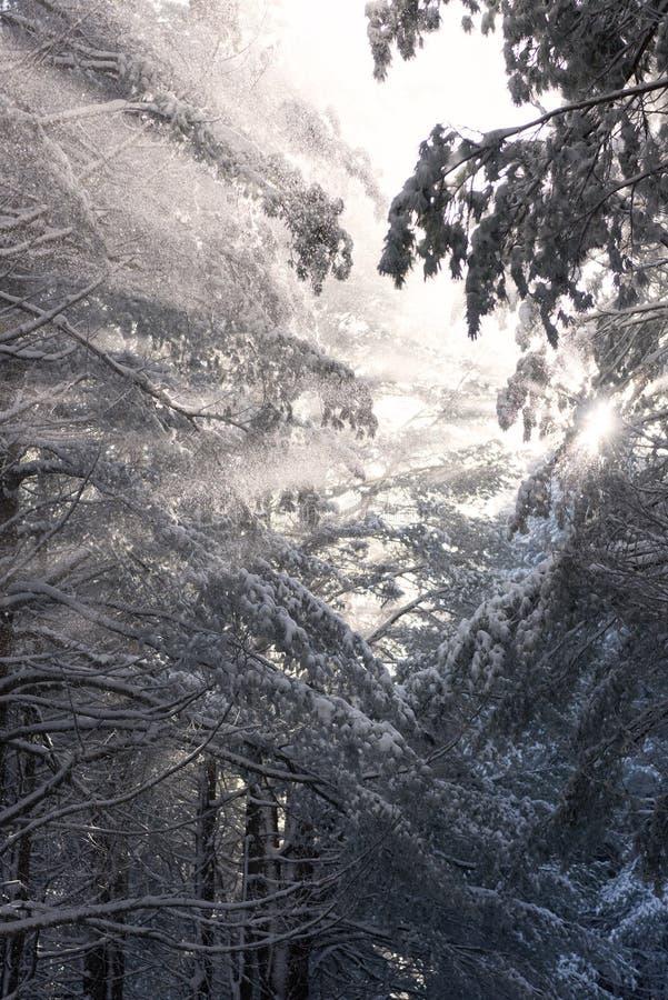 Luz solar através das árvores cobertos de neve no dia muito frio fotos de stock royalty free