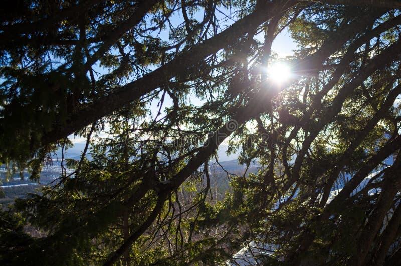 Luz solar através dos ramos do pinho no parque nacional imagens de stock royalty free