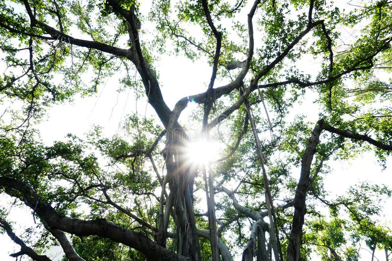 Luz solar atrav?s da ?rvore grande foto de stock