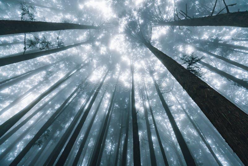 Luz solar direta atrav?s dos pinheiros com n?voa na floresta em Alishan Forest Recreation Area nacional no inverno em Chiayi Coun imagens de stock royalty free