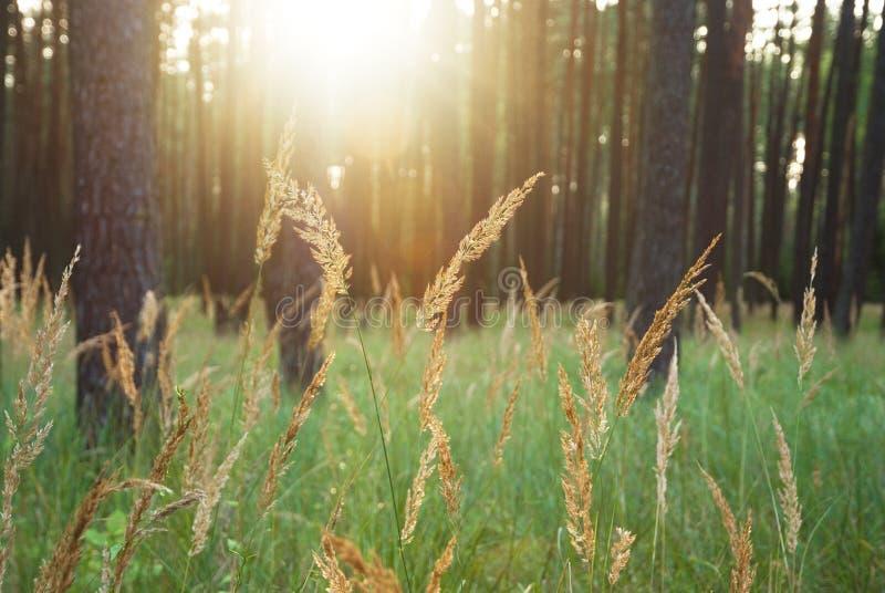 Luz solar do brilho através das árvores na floresta imagem de stock