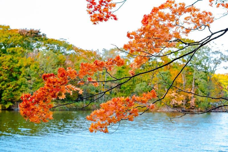 A luz solar do outono do bordo, ramo de árvore do bordo na volta do outono a vermelho, alaranjado, verde, amarelo sae na paisagem imagens de stock