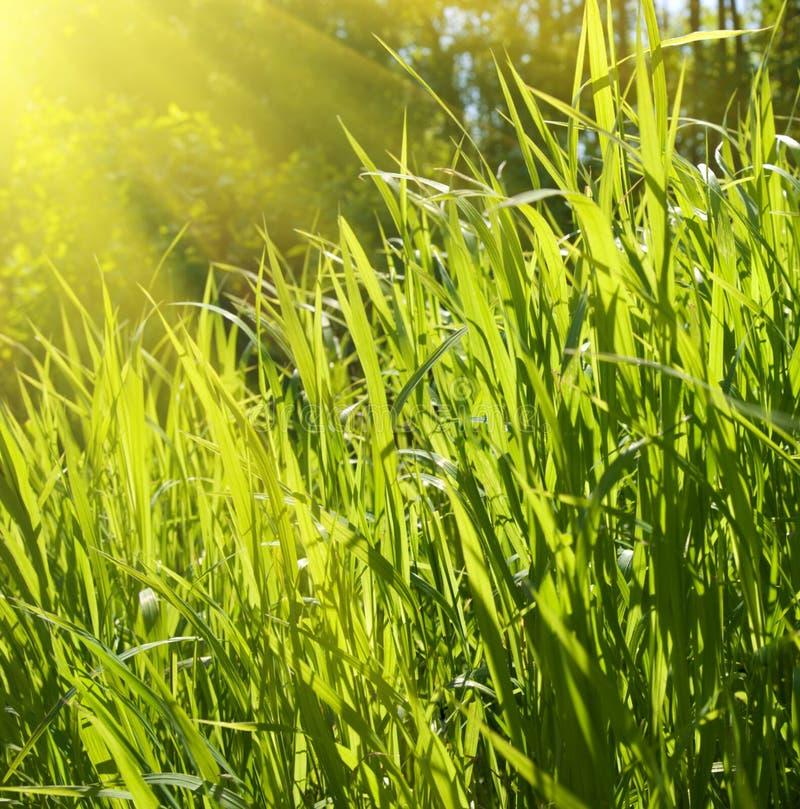 Luz solar e grama imagem de stock