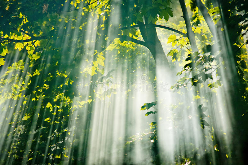 Luz solar feericamente na floresta imagens de stock royalty free