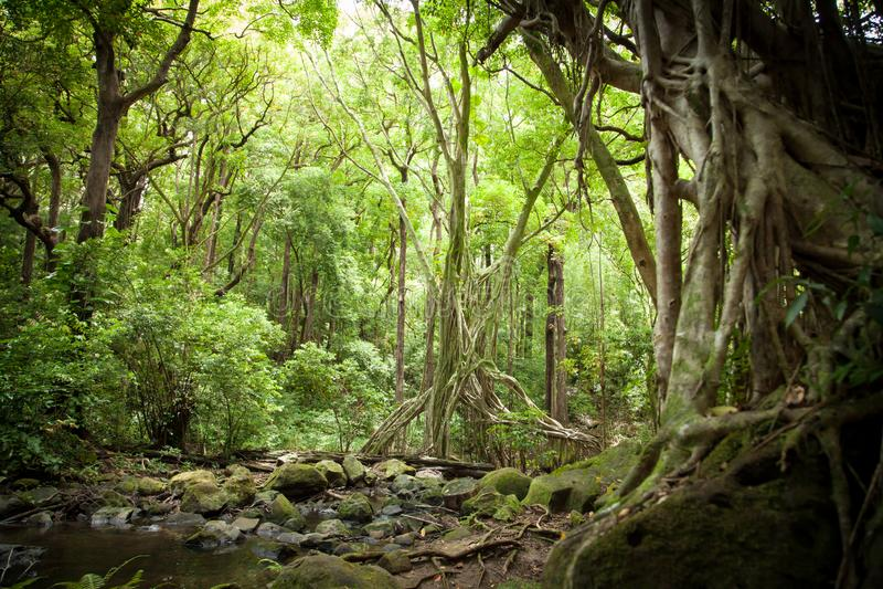 Luz solar filtrada dossel na selva da floresta úmida foto de stock