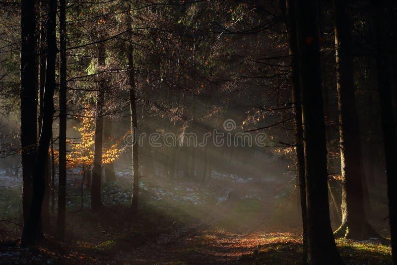 Luz solar macia na paisagem escura da floresta fotos de stock