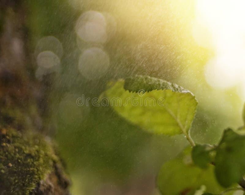 luz solar macro da chuva do fundo do bokeh do close-up verde da folha fotografia de stock royalty free