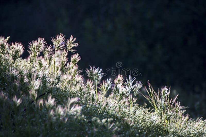 A luz solar na aurora incandesce nas gramas fotos de stock