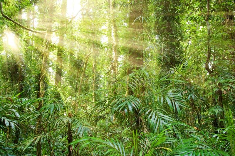 Luz solar na floresta húmida do património mundial do dorrigo foto de stock