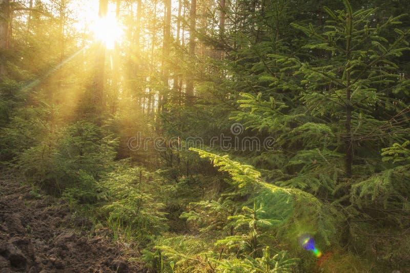 Luz solar na floresta verde no nascer do sol Paisagem da floresta do verão com raios de sol mornos através das árvores foto de stock royalty free