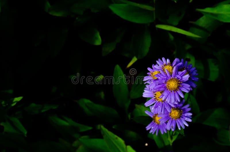 Luz solar que brilha nas flores minúsculas lilás do tataricus do áster do áster de Tatarian que florescem com gota da água fotos de stock royalty free