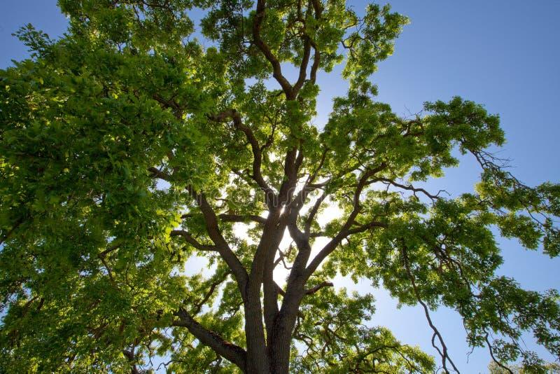 Luz solar que filtra através da coroa da árvore de carvalho fotos de stock