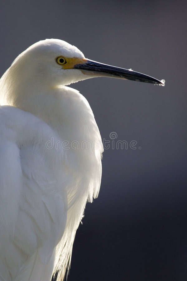 Luz traseira do Egret imagem de stock royalty free