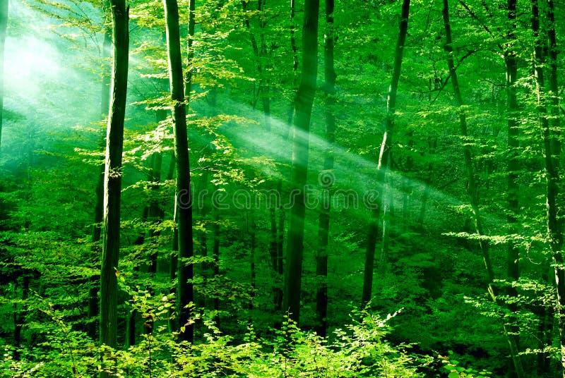 Luzes da floresta fotografia de stock royalty free