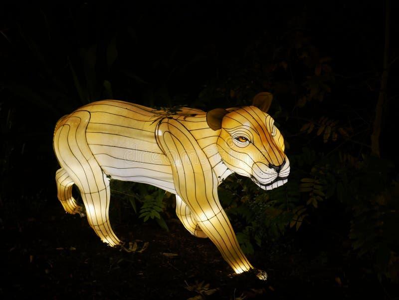 Luzes selvagens, leão em Dublin Zoo na noite foto de stock
