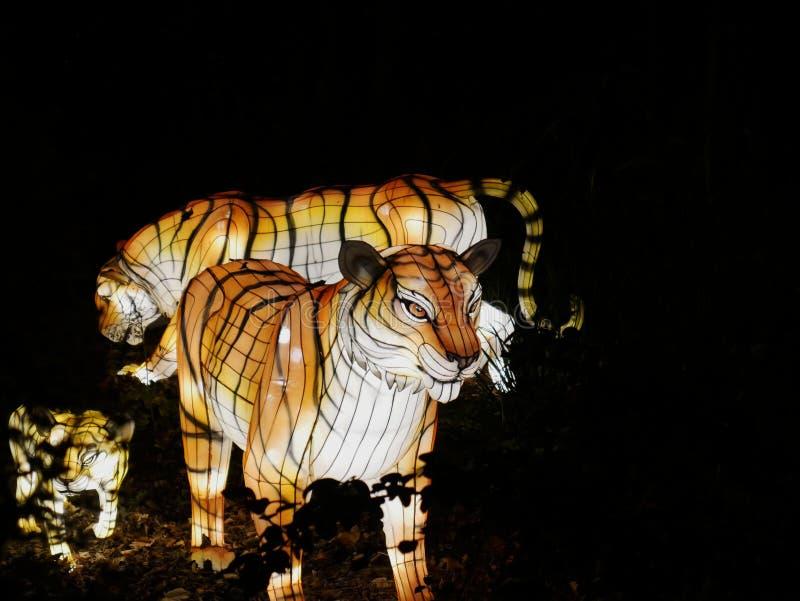 Luzes selvagens, tigres em Dublin Zoo na noite imagens de stock