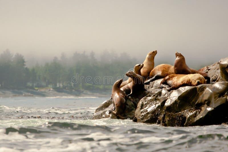 lwów morza steller zdjęcia stock