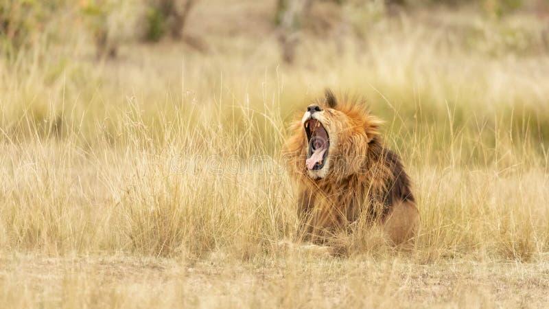 lwów potomstwa męscy ziewający zdjęcia royalty free
