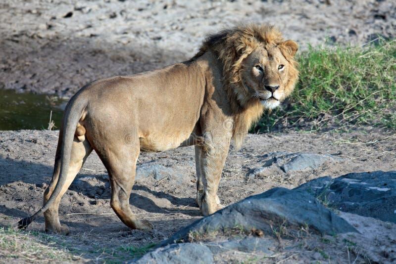 lwów zdrowi potomstwa obraz royalty free