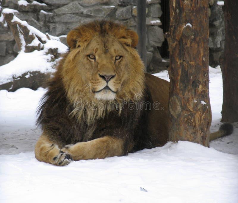 Download Lwa afrykańskiego zdjęcie stock. Obraz złożonej z zwierzę - 130328