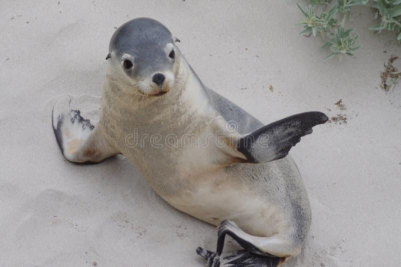 lwa australijski morze zdjęcia stock