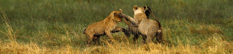 Lwa Cubs Bawić się zdjęcia stock